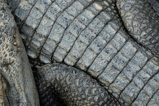 Crocodile (Crocodilia) from a crocodile farm on Tonle Sap Lake, Siem Reap, Cambodia, Southeast Asia, Asia