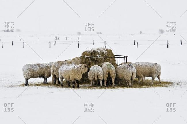 Sheep in snow-covered meadow on the North Sea coast, Schleswig-Holstein, Germany, Europe