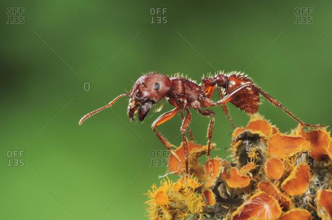 Red Harvester Ant (Pogonomyrmex barbatus), adult on lichen, Laredo, Webb County, Texas, USA, North America