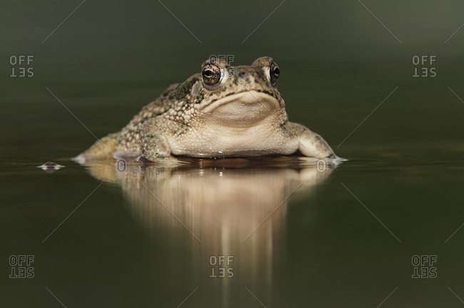 Texas Toad (Bufo speciosus), adult in pond, Laredo, Webb County, South Texas, USA, America, North America