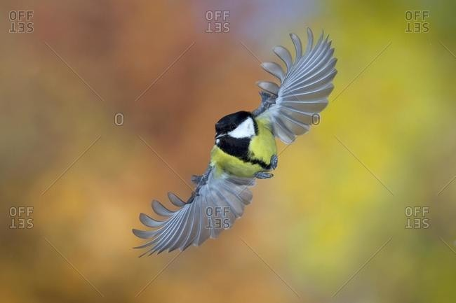 Great tit (Parus major) in flight, autumn, Thueringen, Germany, Europe
