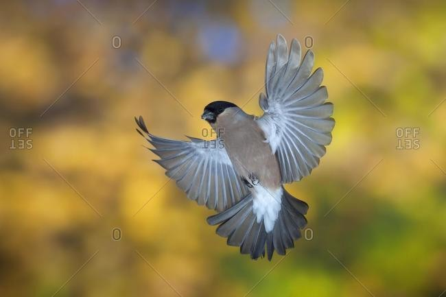 Bullfinch (Pyrrhula pyrrhula), female in flight, autumn, Thueringen, Germany, Europe