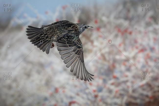 Starling (Sturnus vulgaris) in flight, winter, Thuringia, Germany, Europe