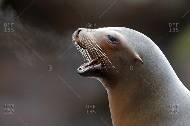California sea lion (Zalophus californianus), captive, Baden-Wuerttemberg, Germany, Europe
