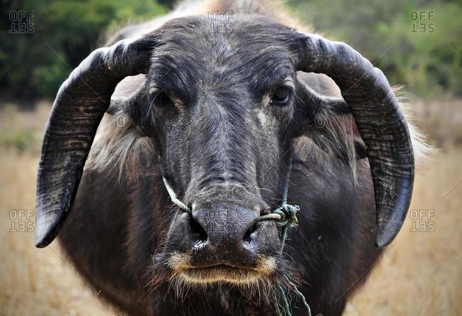 Asian buffalo, Wild water buffalo (Bubalus arnee) in Laos, Southeast Asia, Asia