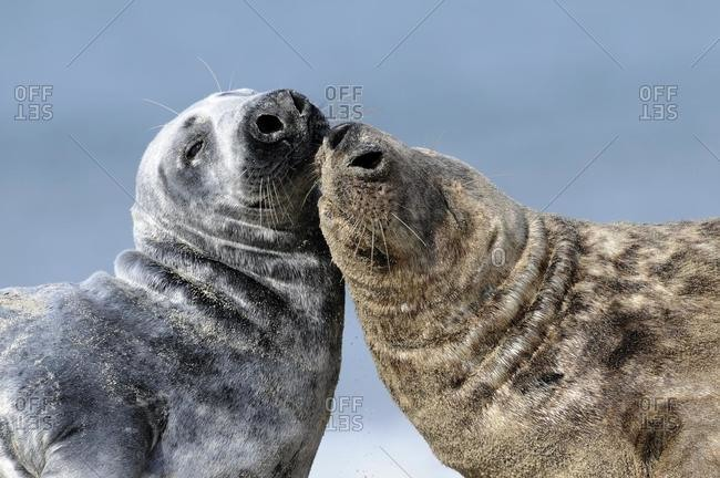 Two gray seals (Halichoerus grypus) showing their affection, ocean island, Helgoland, Schleswig-Holstein, Germany, Europe