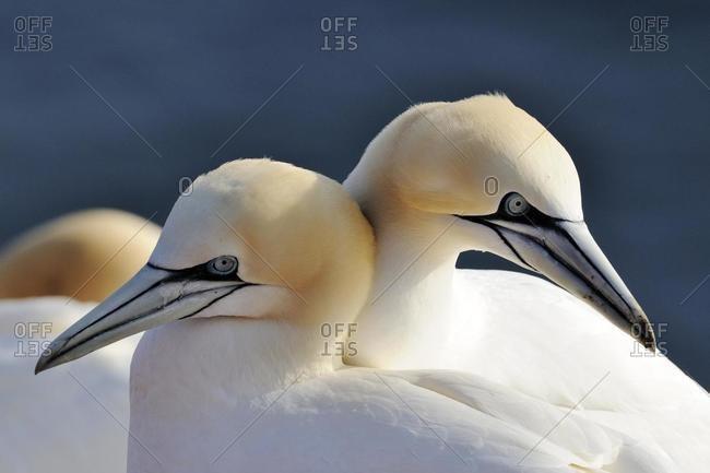 Northern Gannets (Morus bassanus, Sula bassana), in spring, mating season, ocean island, Helgoland, Schleswig-Holstein, Germany, Europe