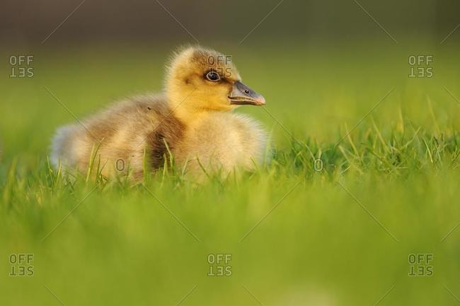 Graylag gosling (Anser anser), sitting in a meadow