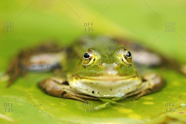 Pool Frog (Rana lessonae), sitting on a leaf, Selegermoor bog, Zurich, Switzerland, Europe