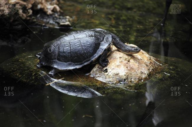 Common snakeneck turtle (Chelodina longicollis), resting, rock, water, Australia, Oceania