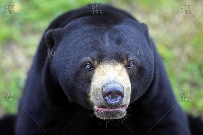 Sun Bear (Helarctos malayanus), male adult, portrait, Asia