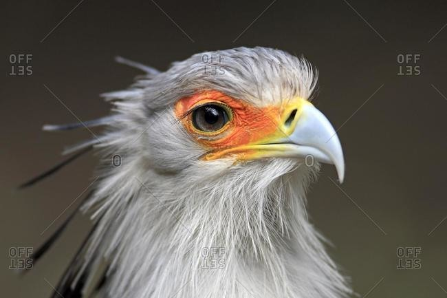 Secretary Bird (Sagittarius serpentarius), adult, portrait, Cape Town, South Africa, Africa