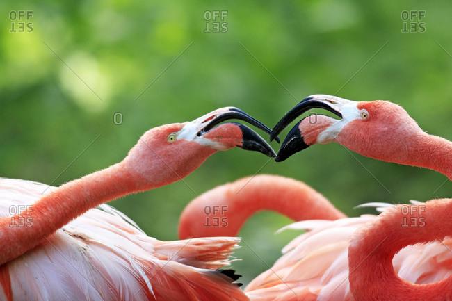 American Flamingos (Phoenicopterus ruber), pair, portrait, captive, Heidelberg, Baden-Wuerttemberg, Germany, Europe