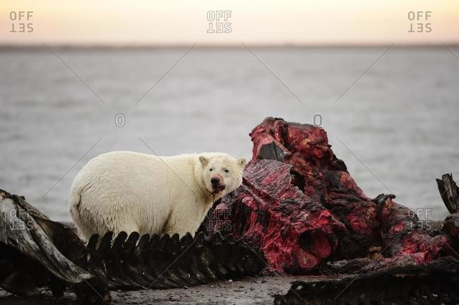Polar bear (Ursus maritimus) feeding on the remains of a whale, Kaktovik, North Slope, Beaufort Sea, Alaska, USA, America, North America