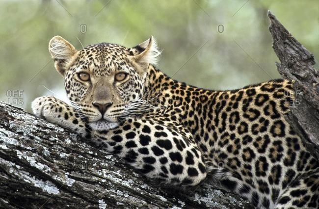 Leopard (Panthera pardus) resting on a tree branch, Ndutu, Ngorongoro Crater, Tanzania, Africa