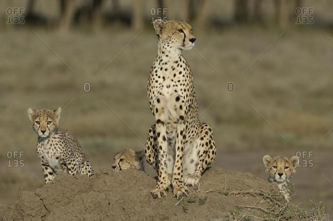 Cheetah (Acinonyx jubatus), female with three cubs on termite hill, Serengeti, Tanzania, Africa