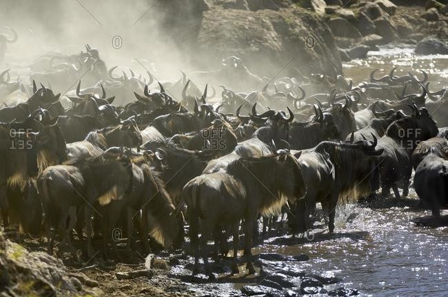 Gnu, Blue Wildebeest (Connochaetes taurinus), gnu migration, pushing gnus at the Mara waterside, Masai Mara, Kenya, Africa