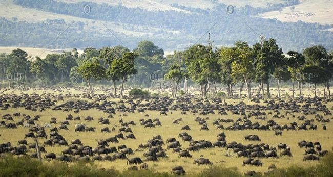 Gnu, Blue Wildebeest (Connochaetes taurinus), gnu migration, herd at the Mara River in the morning, Masai Mara, Kenya, Africa