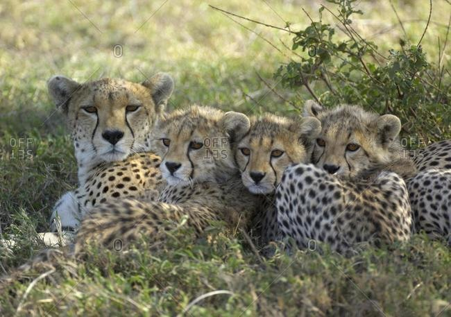 Cheetah (Acinonyx jubatus), female with three snuggling up cubs, Serengeti, Tanzania, Africa