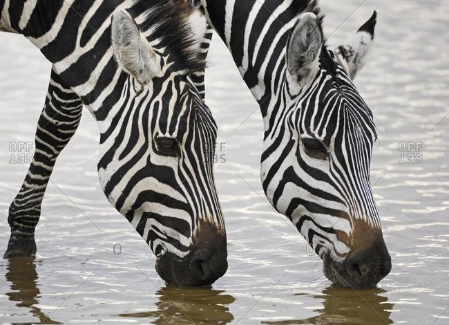 Zebra, Plains Zebra, Boehmzebra, (Equus quagga boehmi), zebra double portrait drinking, Ngorongoro Crater, Tanzania, Africa