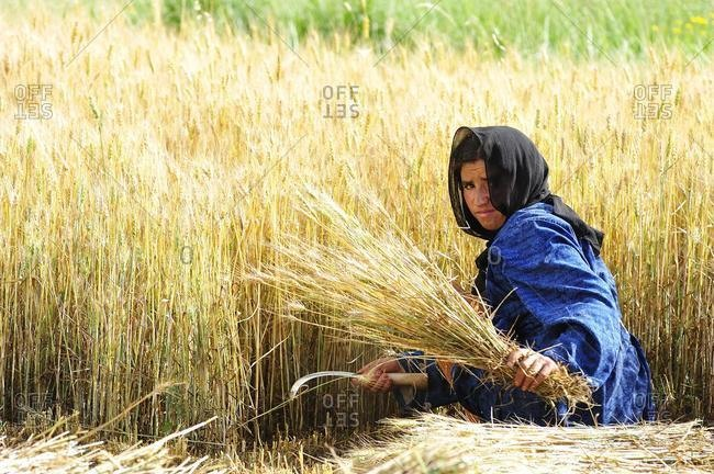 May 21, 2020: Berber woman with a headscarf harvesting grain in a field with a sickle, High Atlas mountains, Morocco, Africa