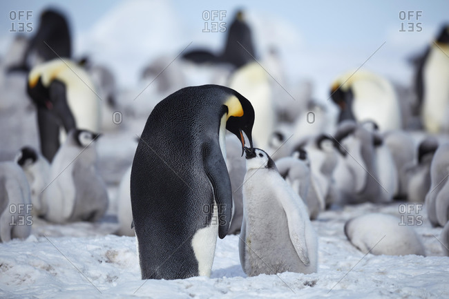 Emperor penguins (Aptenodytes forsteri), adult animal feeds chicks, penguin colony, Snow Hill Island, Weddell Sea, Antarctica