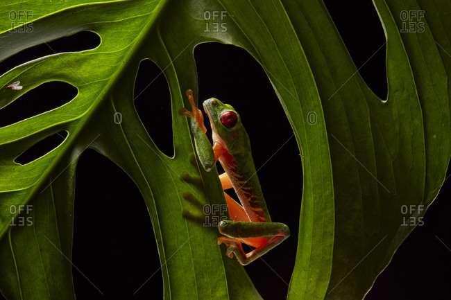 Red-eyed tree frog (Agalychnis callidryas) on leaf of a Philodendron, Province Puntarenas, Costa Rica, Central America