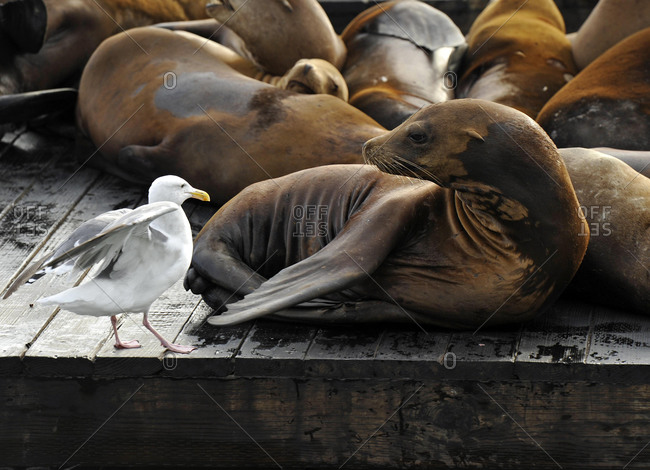 Western Gull (Larus occidentalis) and California Sea Lions (Zalophus californianus) on Pier 39, Fisherman's Wharf, harbour, San Francisco, California, United States of America, USA, North America