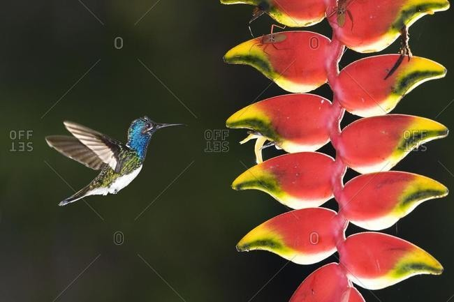 White-necked Jacobin Hummingbird (Florisuga Mellivora), young male beside a Heliconia (Heliconia rostrata) flower, Tambopata Reserve, Peru, South America