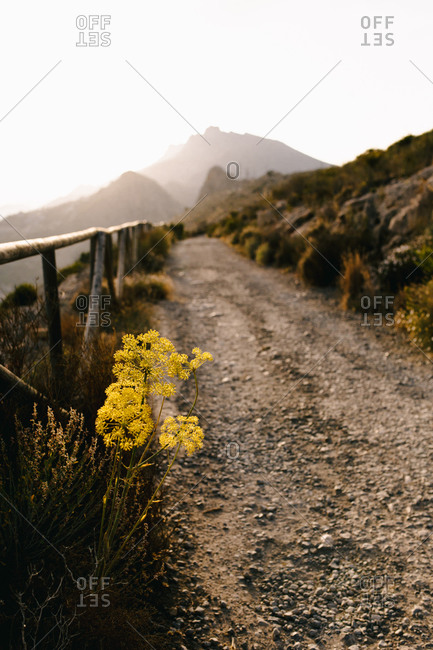Yellow wildflowers growing near narrow dirt path with wooden fence leading along mountain terrain in foggy day in countryside