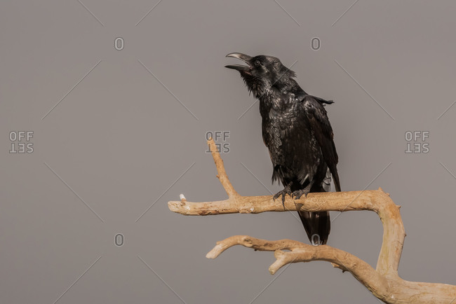 Black crow bird sitting on dry leafless branch of tree against cloudy sky in countryside