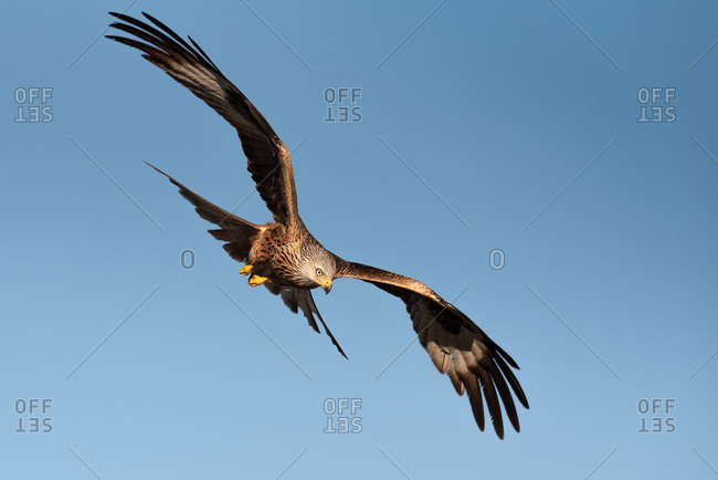 From below wild hawk flying in blue sky and hunting on sunny day in nature