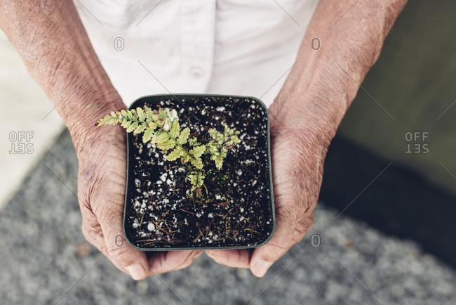 Elderly hands holding baby fern in pot horizontal