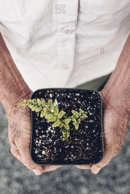 Elderly hands holding baby fern in pot vertical