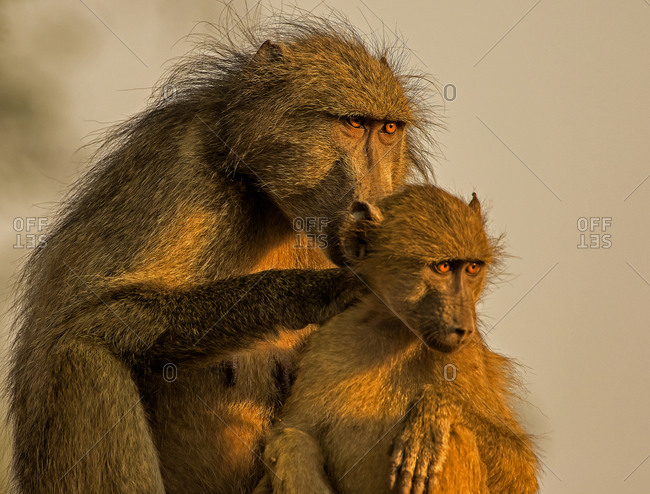 Female chacma baboon tending juvenile, portrait, Kruger National park, South Africa