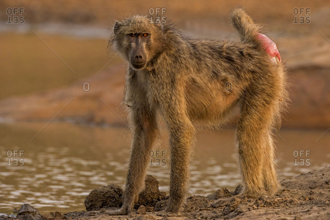 Chacma baboon by watering hole, full length portrait, Kruger National park, South Africa