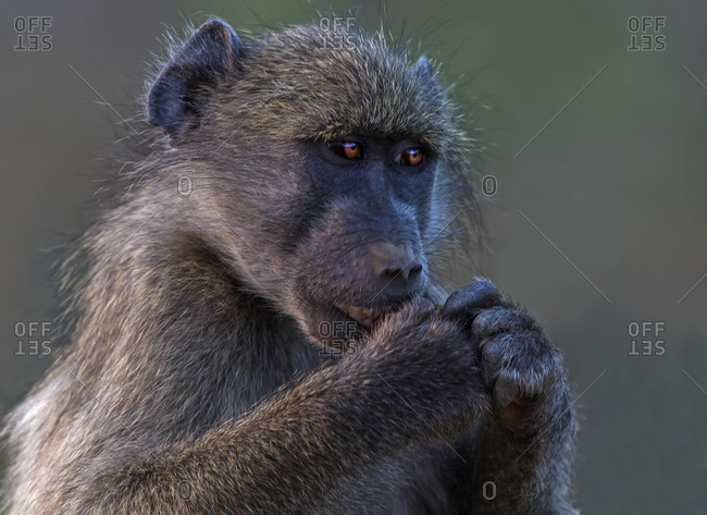 Chacma baboon, close up portrait, Kruger National park, South Africa