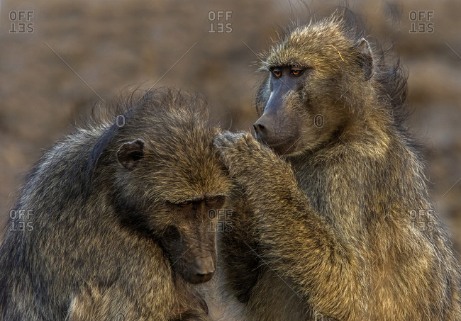 Chacma baboons grooming each other, Kruger National park, South Africa