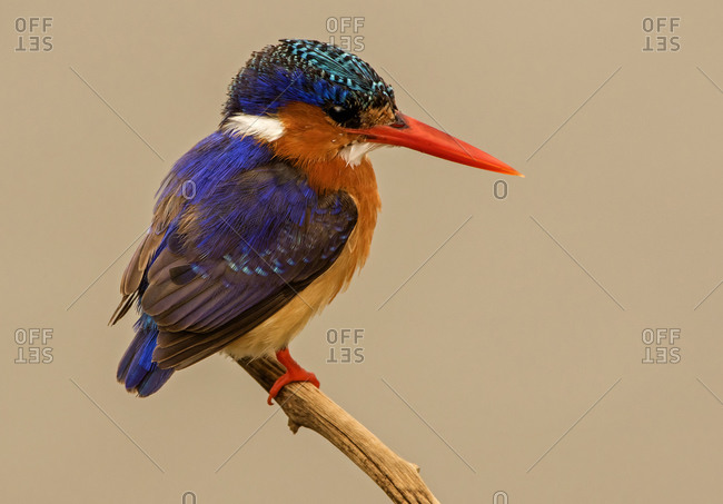 Malachite kingfisher perched on branch, side view, Kruger National Park, South Africa