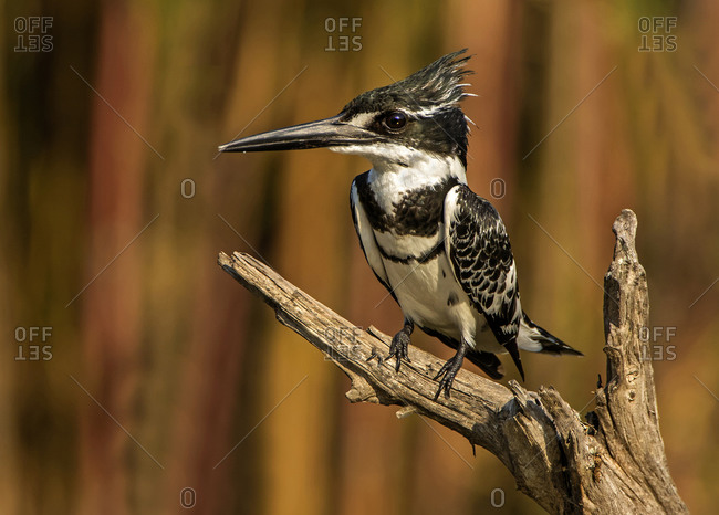 Pied kingfisher perched on branch, side view, Kruger National Park, South Africa