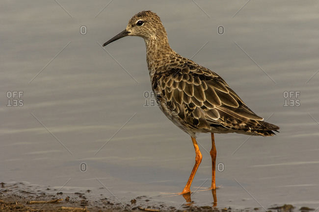 Ruff wading at lake edge, side view, Kruger National Park, South Africa