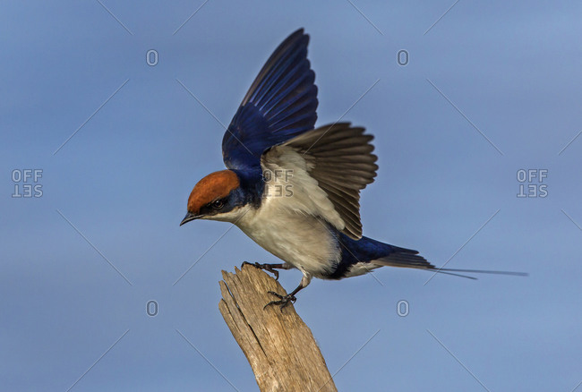 Wire-tailed swallow perching on fencepost, side view, Kruger National park, South Africa