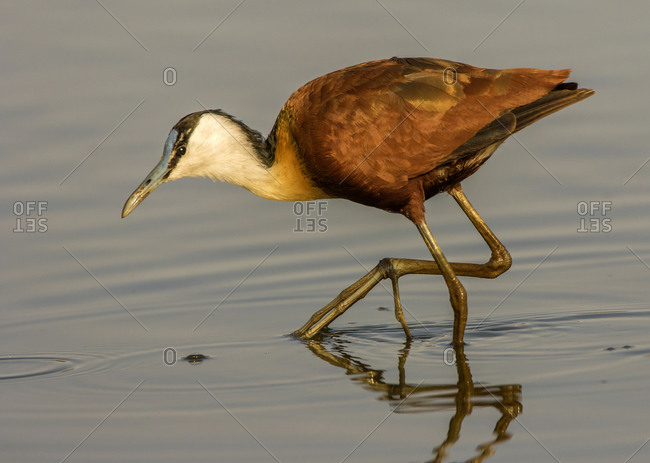 African jacana hunting in lake, side view, Kruger National park, South Africa
