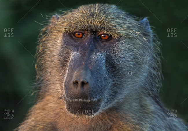 Chacma baboon, head and shoulder portrait, Kruger National park, South Africa