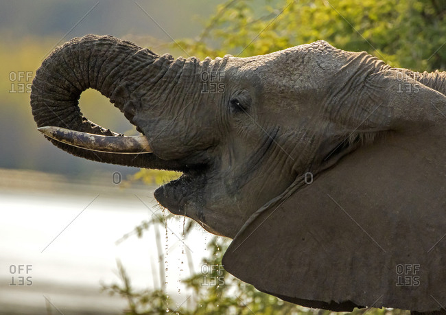 African elephant by watering hole, side view head shot, Kruger National Park, South Africa