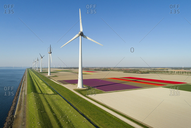 Windfarms both on and offshore, blossoming bulb fields in polder, Urk, Flevoland, Netherlands