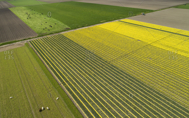 Tulips fields after the harvest, Espele, Flevoland, Netherlands