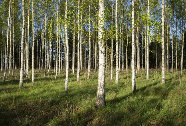 Field of birch trees, Tungstate, Gotlands Lan, Sweden