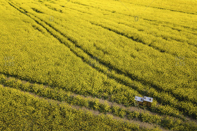 Germany- Brandenburg- Drone view of vast oilseed rape field