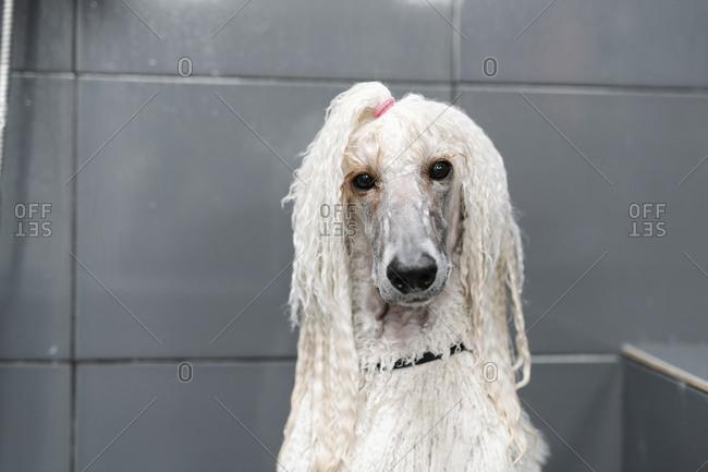Portrait of wet Standard Poodle